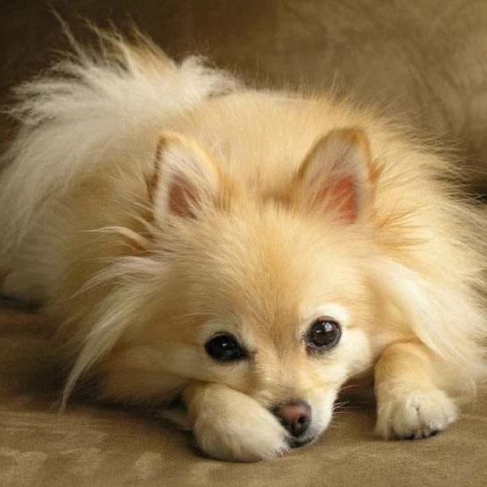 pomeranian puppy ready to play