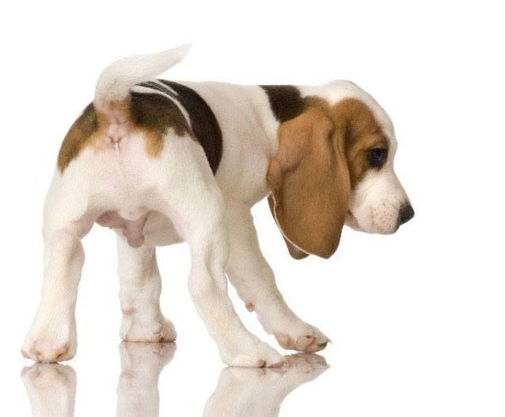 hungry beagle puppy