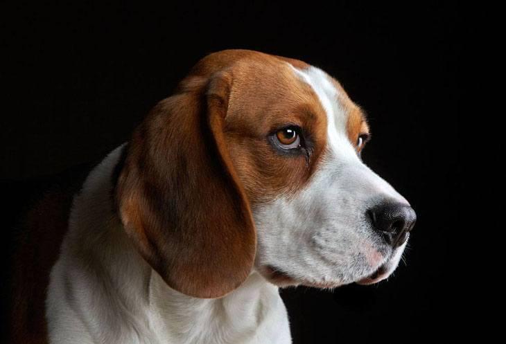 profile of a beagle