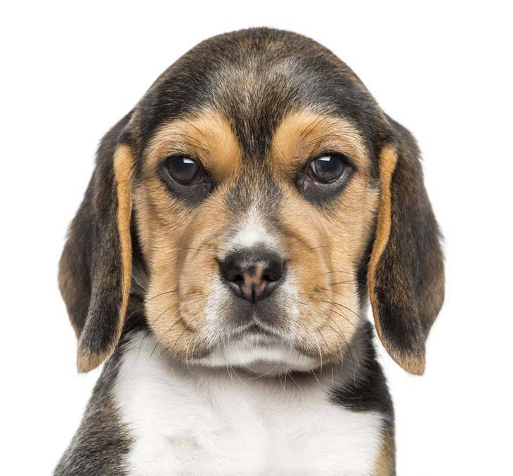 beagle puppy staring