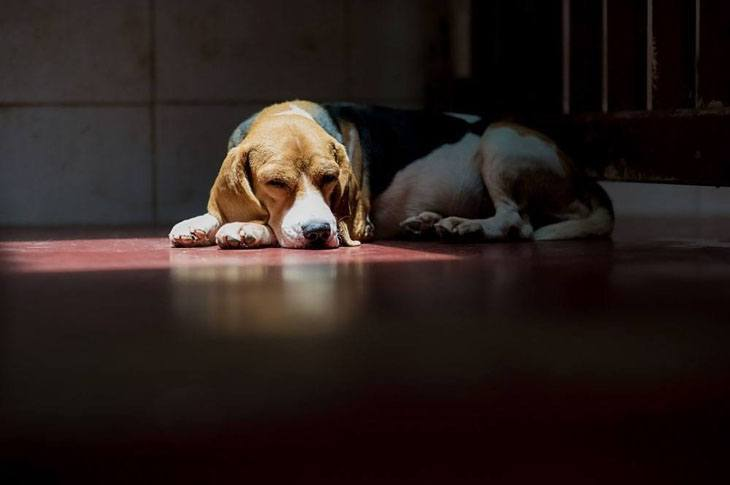 beagle dog taking a rest