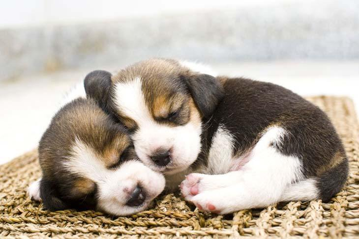 two beagle puppies taking a siesta