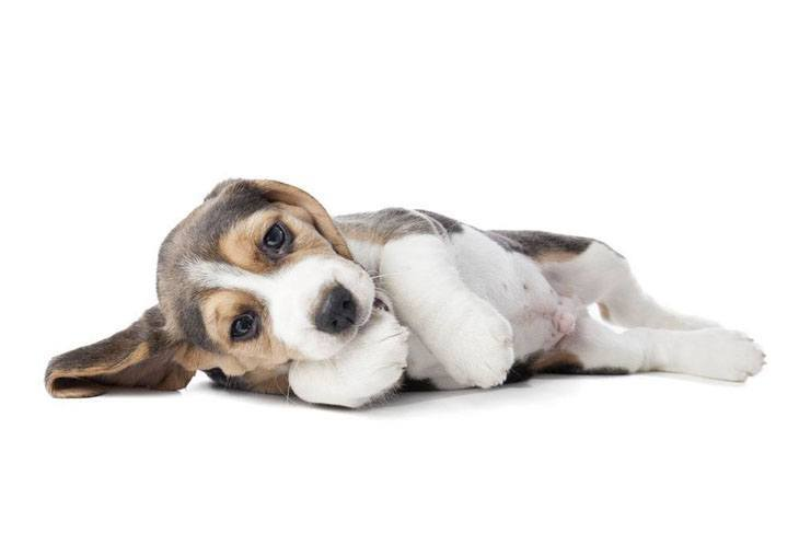 beagle puppy looking for a belly rub
