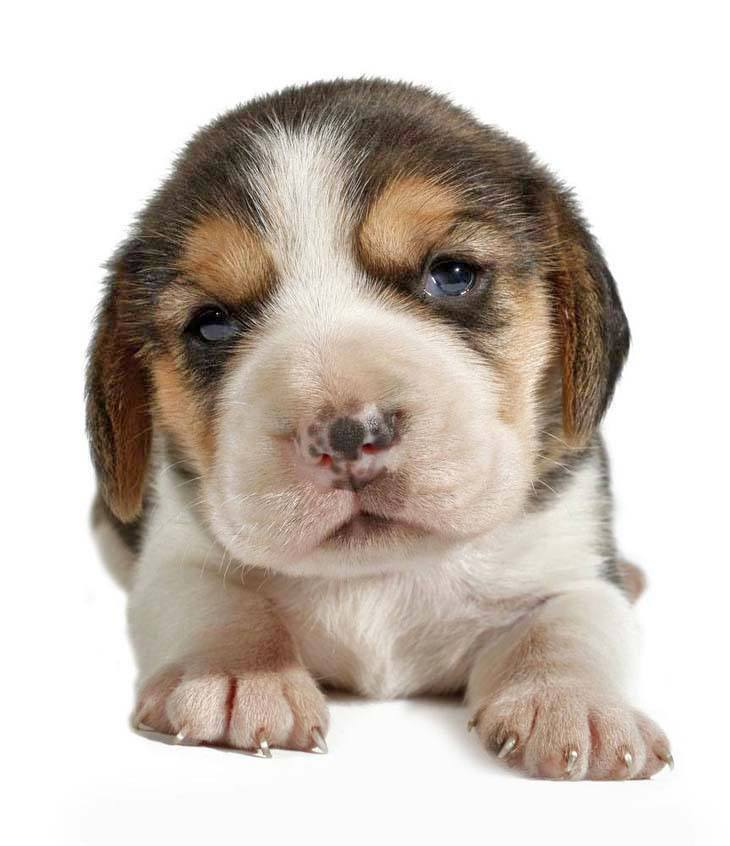 beagle puppy with a cute nose