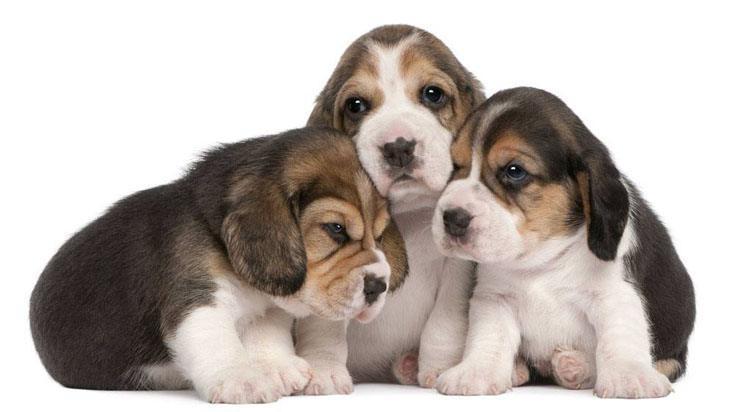 three adorable beagle puppies