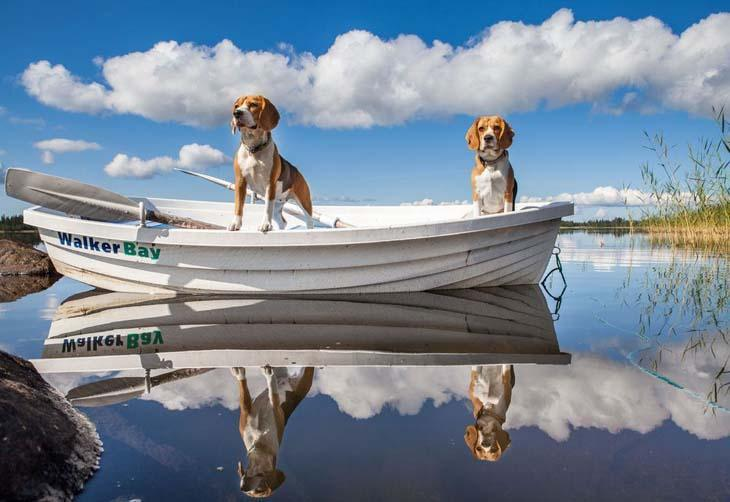 two beagles out on a boat