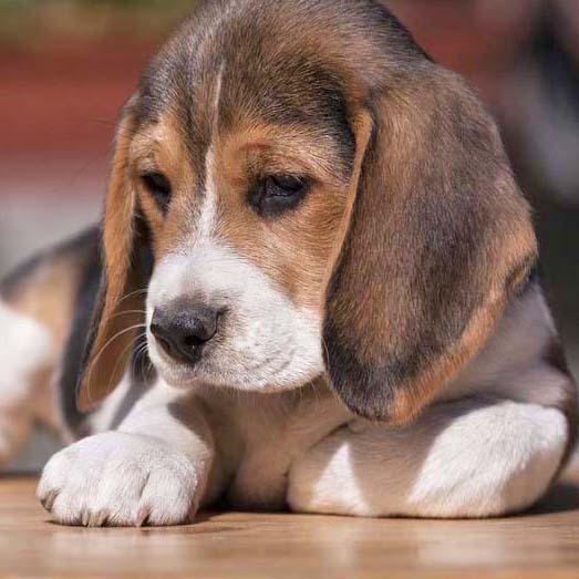 cute beagle ready for a nap