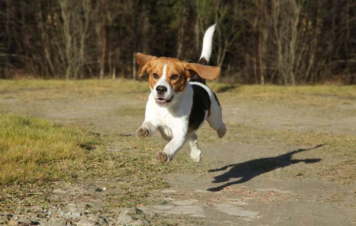 a beagle flying thru the air