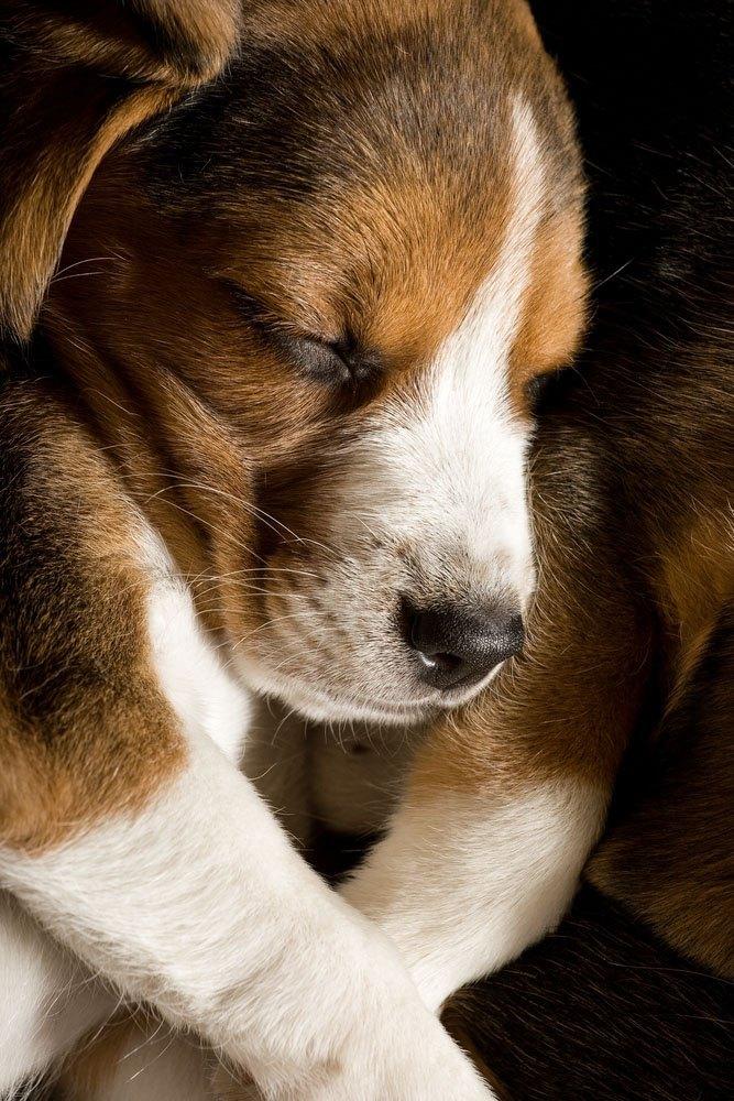 beagle napping after a walk