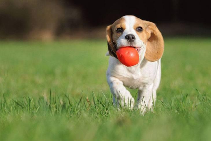beagle puppy playing ball
