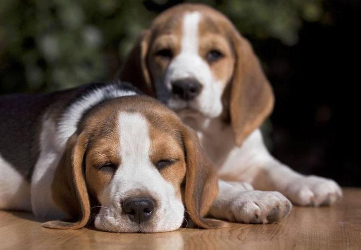 two beagles taking a nap