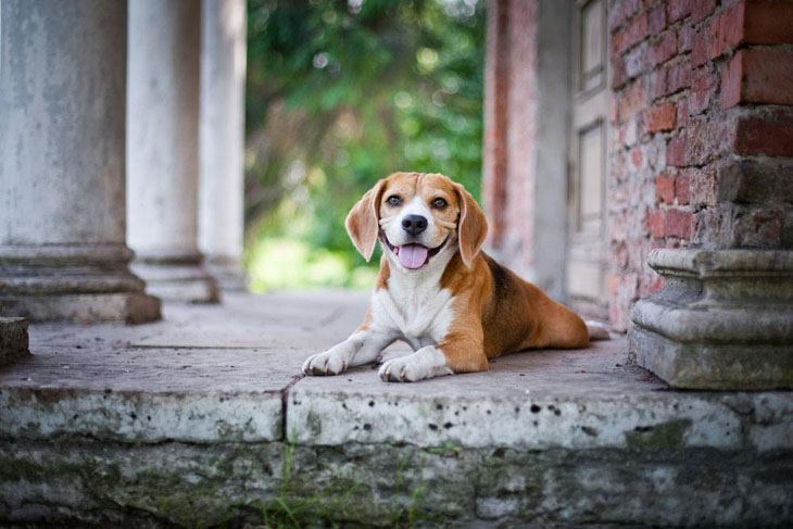 beagle waiting for you to come home