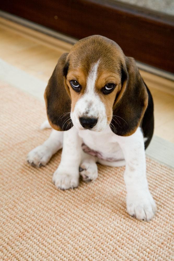 guilty looking beagle