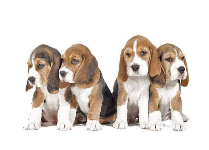 four beagle buddies looking for some fun