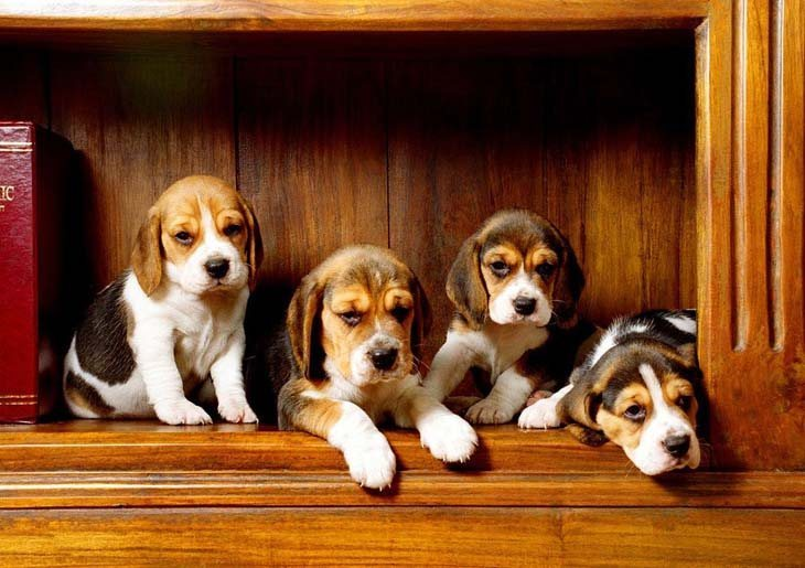 beagle puppies smelling bacon