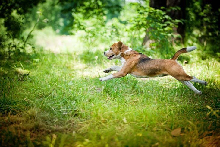 beagle dog frolicking in the forest