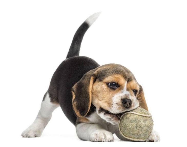 cute beagle puppy playing ball
