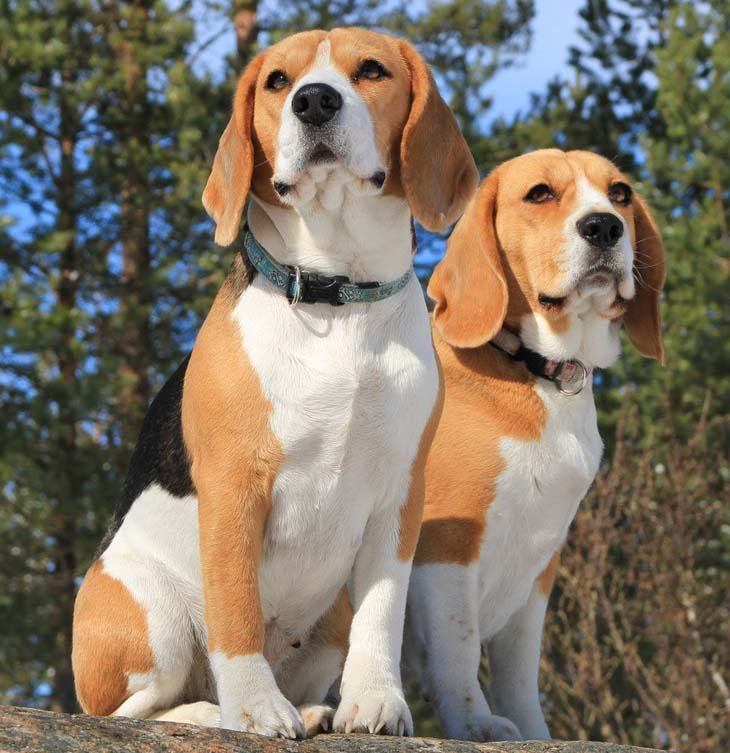 two beagles ready for playtime