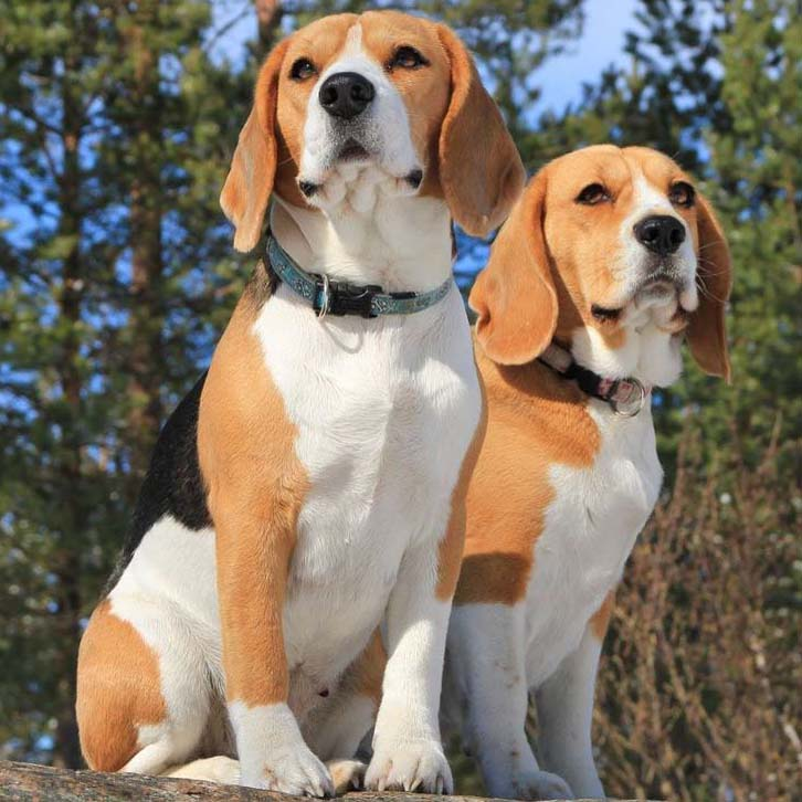 beautiful beagles out on a walk