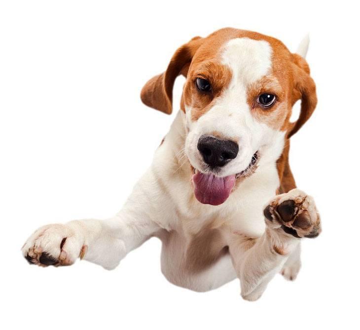 flying thru the air beagle