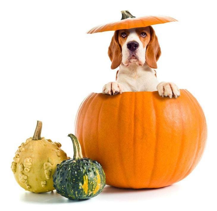 beagle popping out of a pumpkin