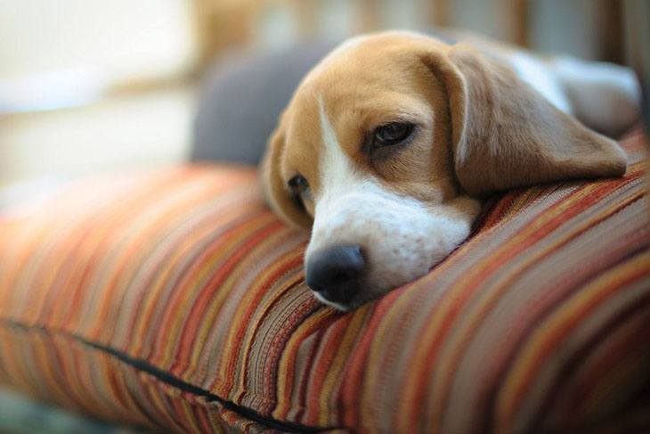 beagle ready to take a nap