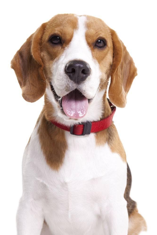 beagle dog posing for the camera