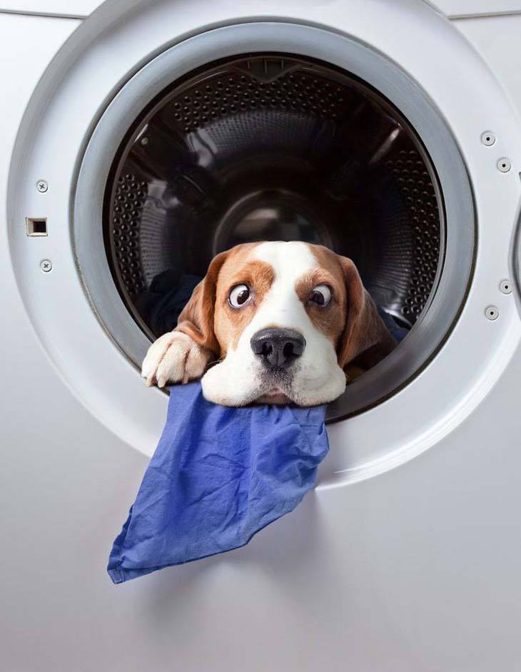 beagle exiting the clothes dryer