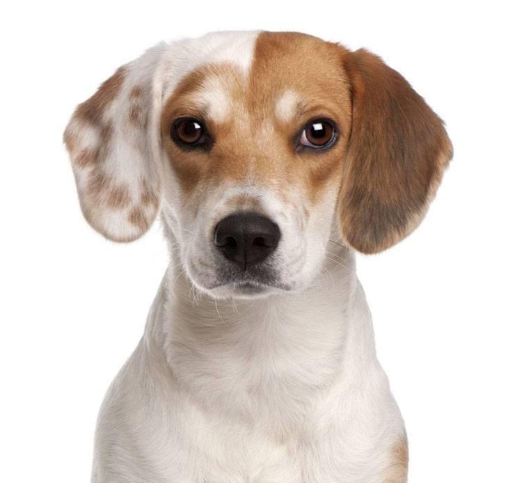 beautiful multicolored beagle