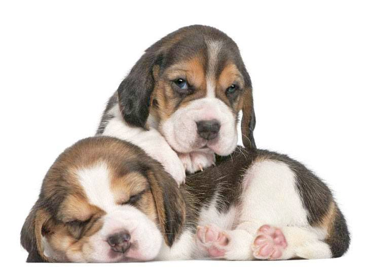 two beagle puppies looking cute