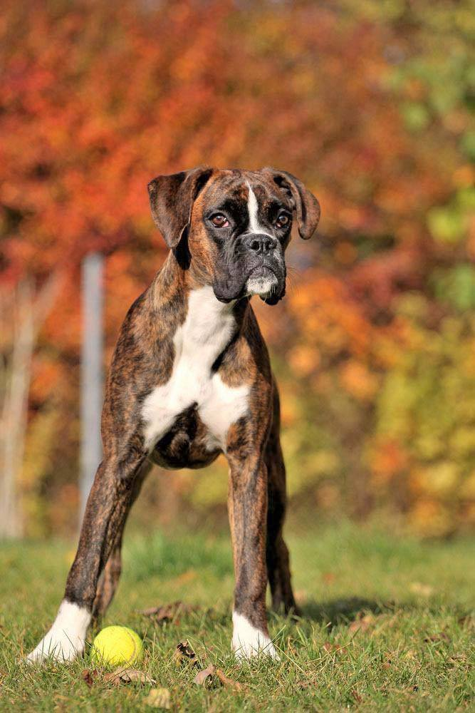 this boxer wants to play ball