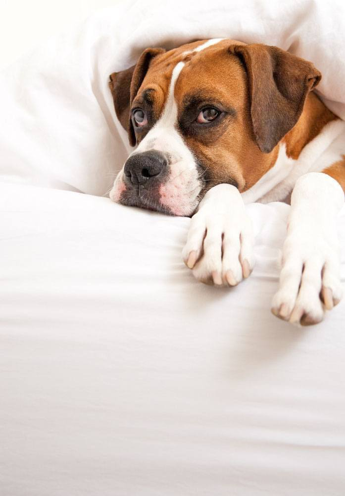 boxer dog peeking from under the bed covers