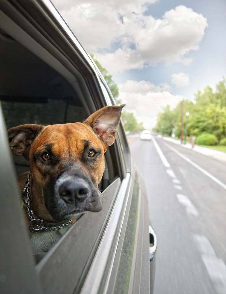boxer with head out of car window