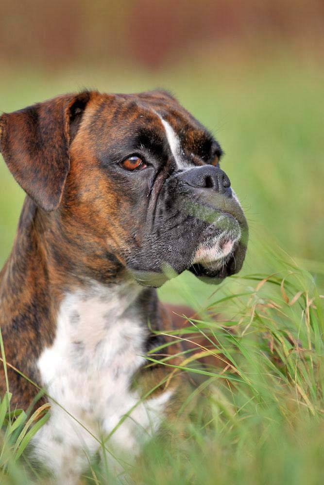 this boxer just spotted the new cat next door