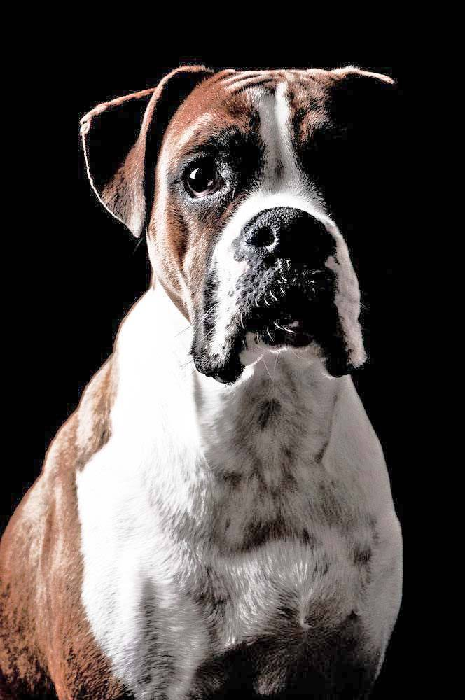 photo of handsome boxer dog