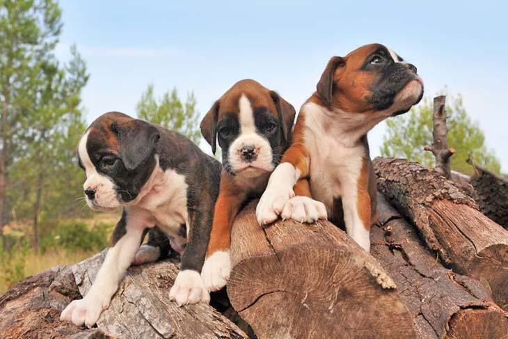 three cute boxer puppies getting ready to pounce