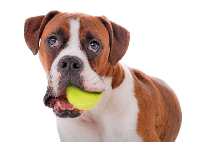 boxer dog waiting to play catch