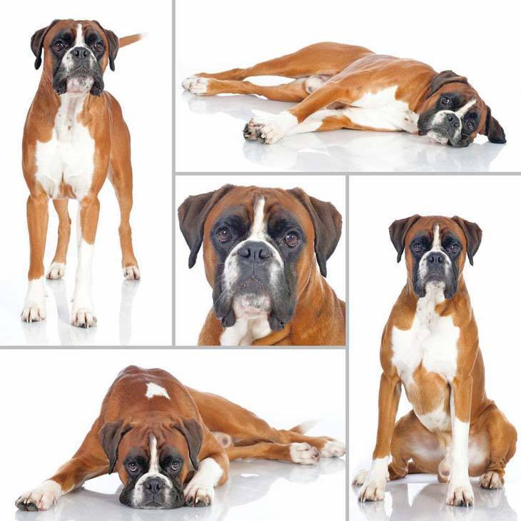 boxer dog collage