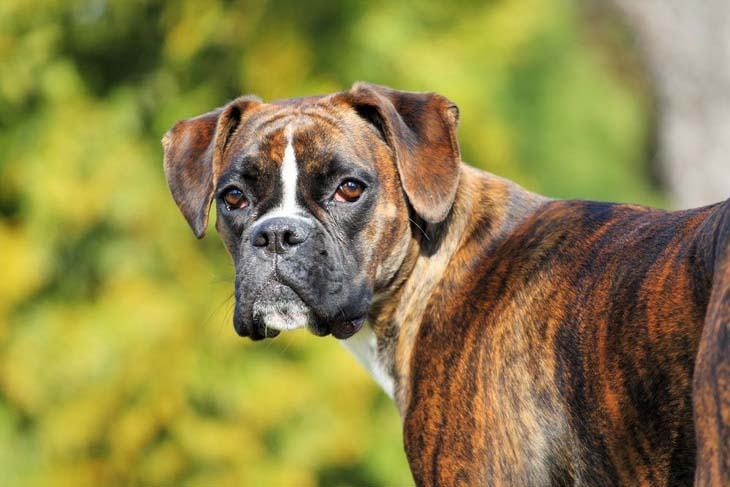 a handsome boxer dog looking at you