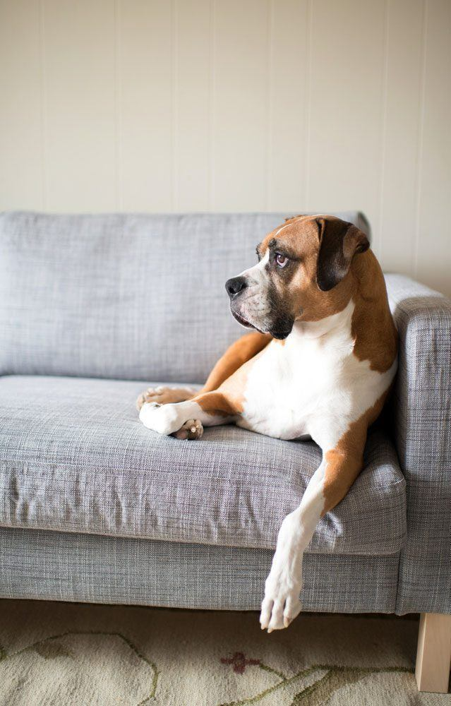 boxer waiting for it's owner to come home
