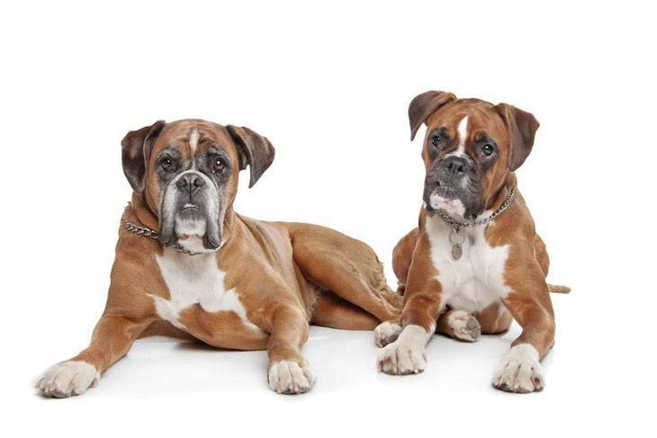 two boxer dogs lookin for trouble