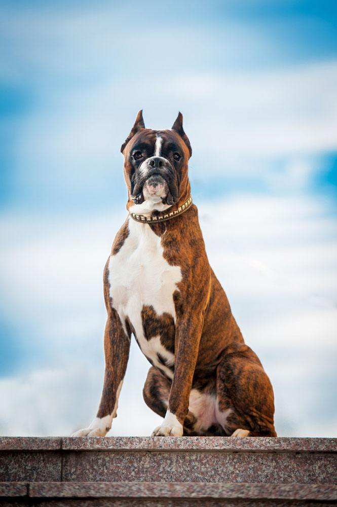 boxer looks like it's proud to be a boxer