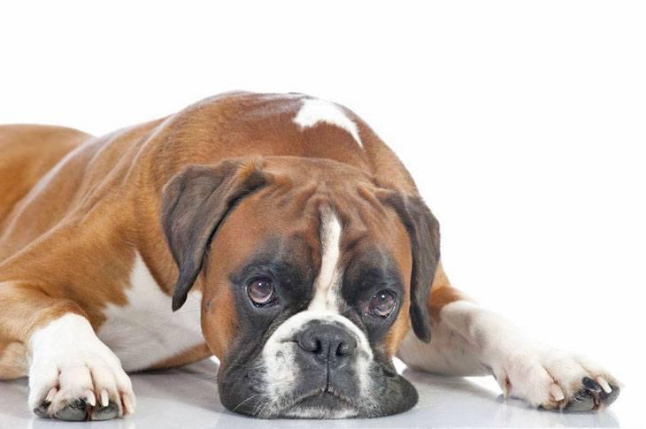 boxer dog taking a break