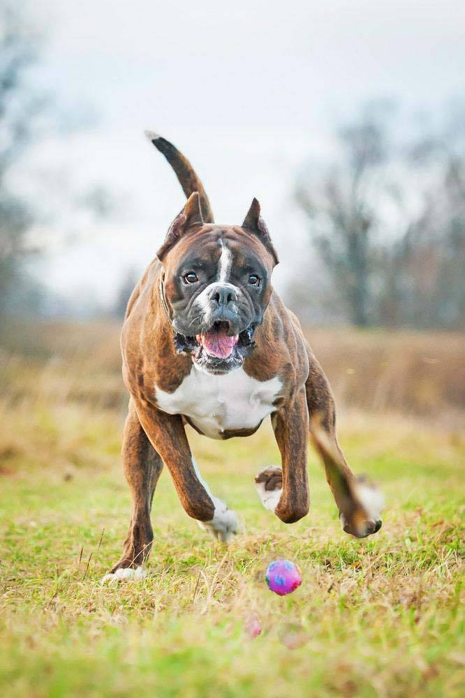 boxer dog running after a ball
