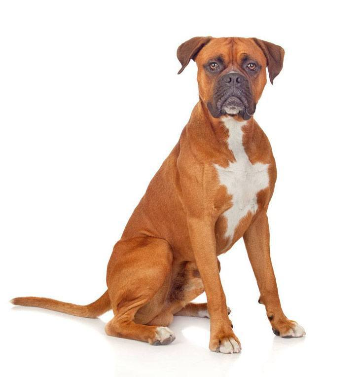 photogenic boxer dog