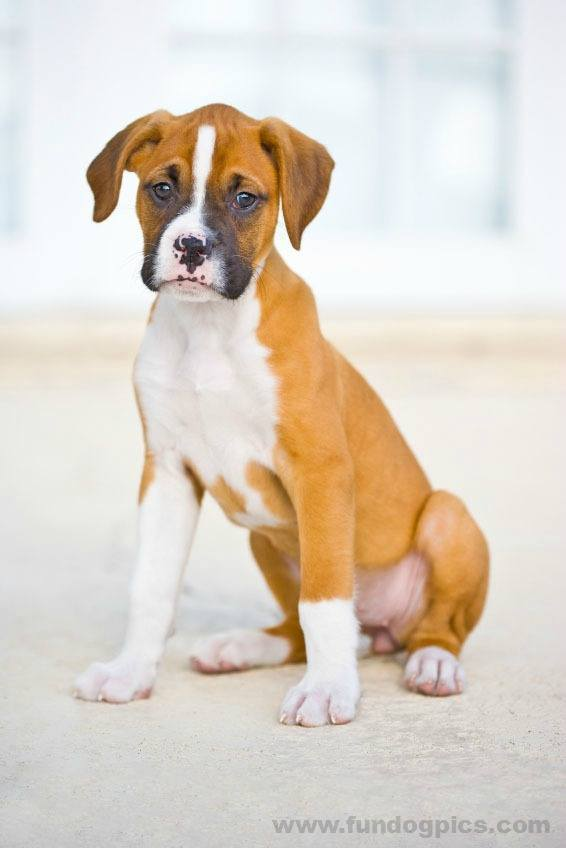 beautiful picture of boxer dog