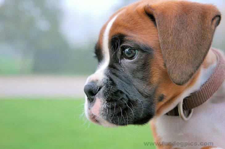 boxer puppy looking to get into some mischief