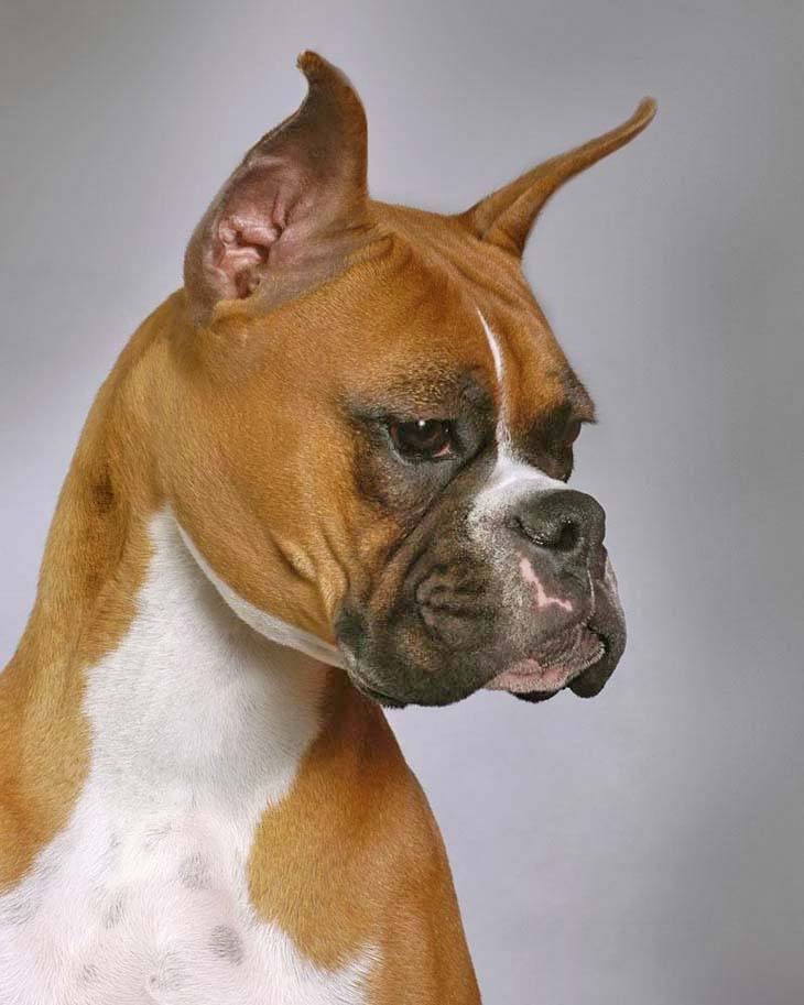 boxer dog poses for the camera