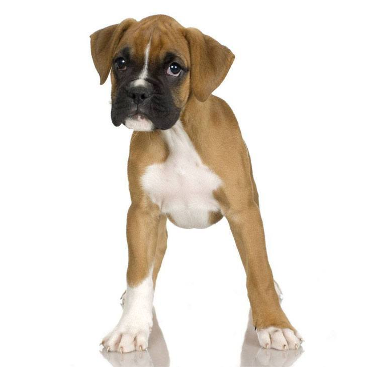 boxer puppy watching you