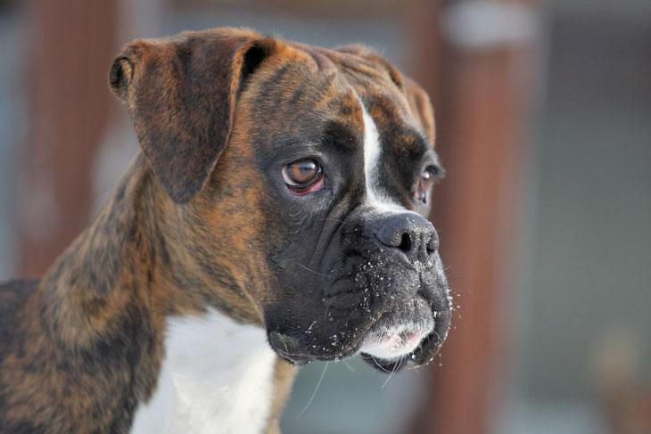 boxer dog posing for the camera